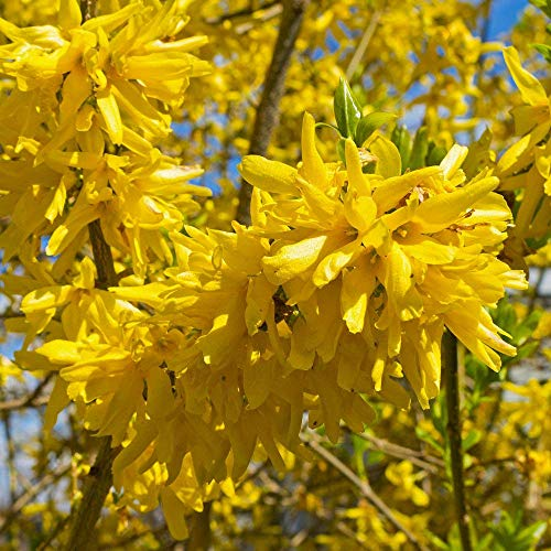 Pixies Gardens Forsythia Spring Glory Stunning Arching Branches On This...