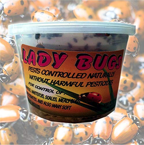 Bazos 1500 Live Ladybugs - Good Bugs - Ladybugs - Ladybugs for Garden -...