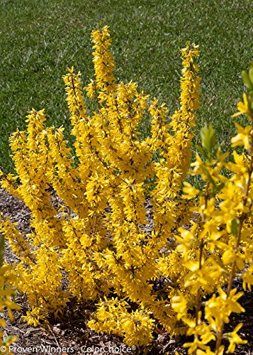 Show Off Forsythia 'Starlet' - Compact & Hardy - Proven Winners
