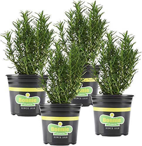Bonnie Plants 4P5090 Rosemary Live Edible Aromatic Herb Plant-4 Pack,...