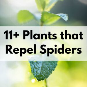 11+ plants that repel spiders text overlay on a closeup photo of a mint plant