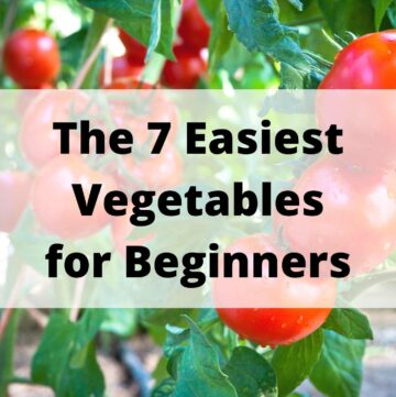 """text """"the 7 easiest vegetables for beginners"""" on top of an image of ripe tomatoes on the vine"""