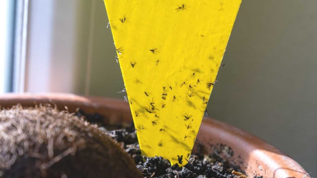 Fungus gnats stuck to a triangular yellow sticky trap card in a potted houseplant. Fungus gnats are small, nonbiting gnats that can infest wet potting soil.