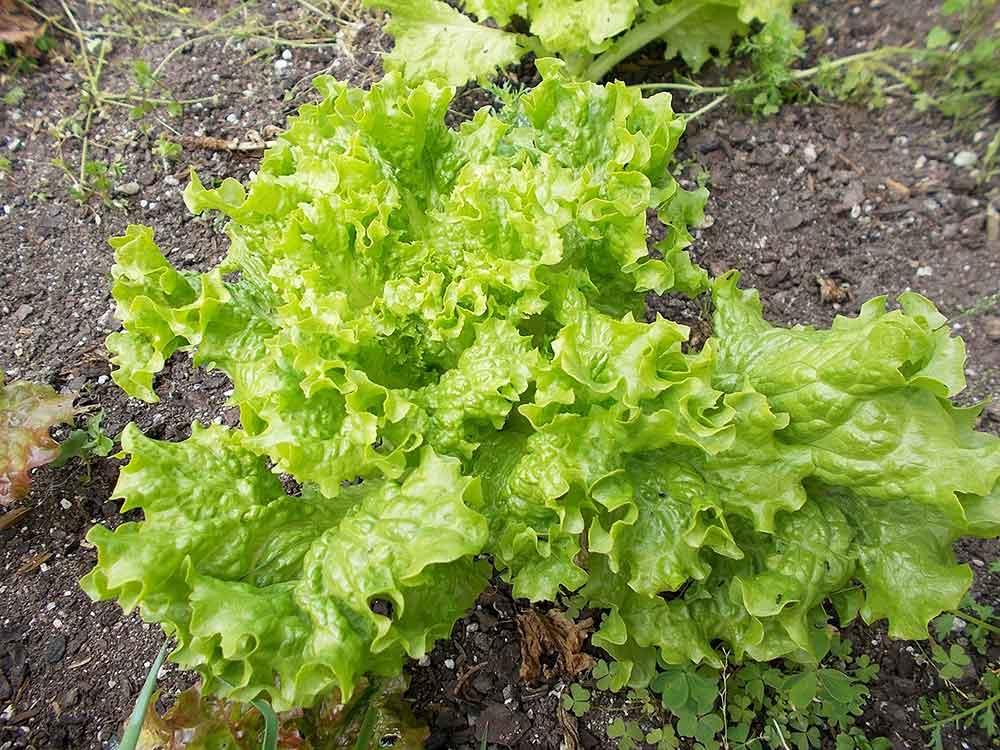A loose head of leaf lettuce growing in a garden.