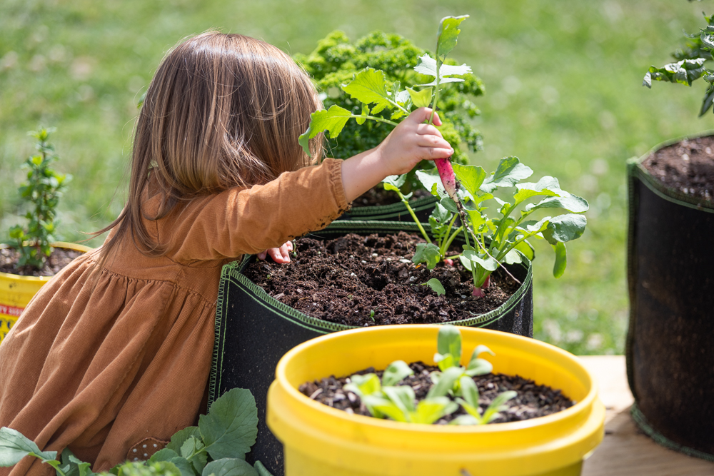 toddler in a brown dress picking a French breakfast radish from a container garden.