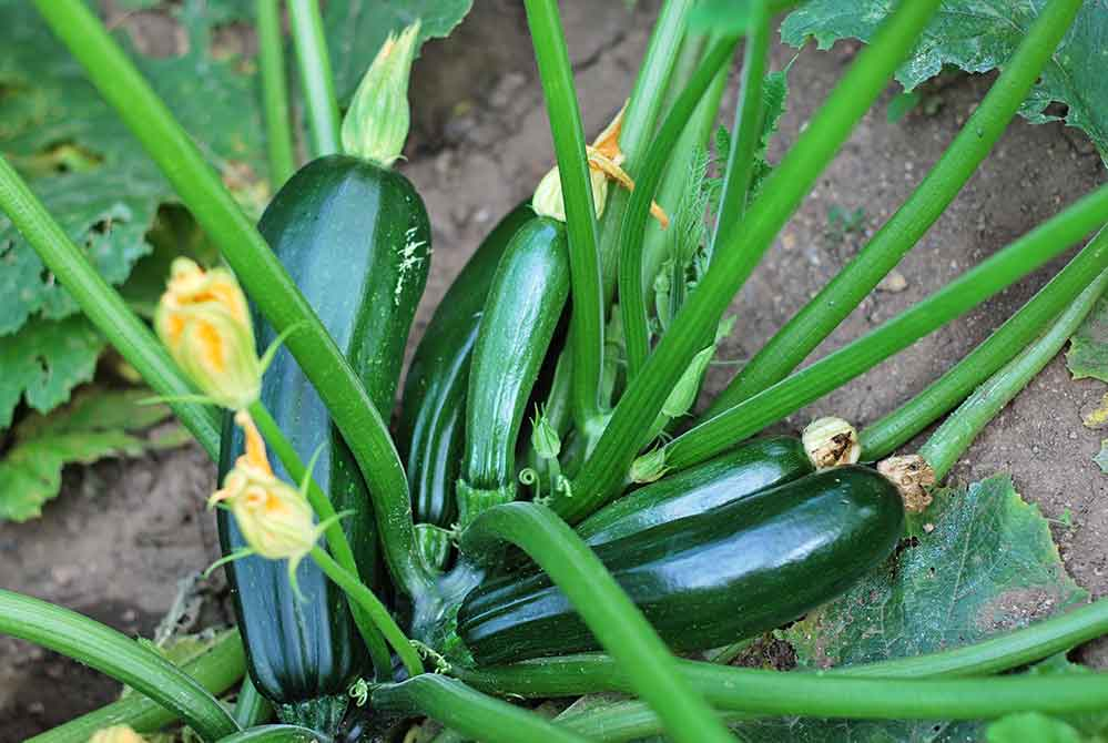 A top-down image of a zucchini plant growing. There are six growing fruits and a multiple additional blossoms on the plant.