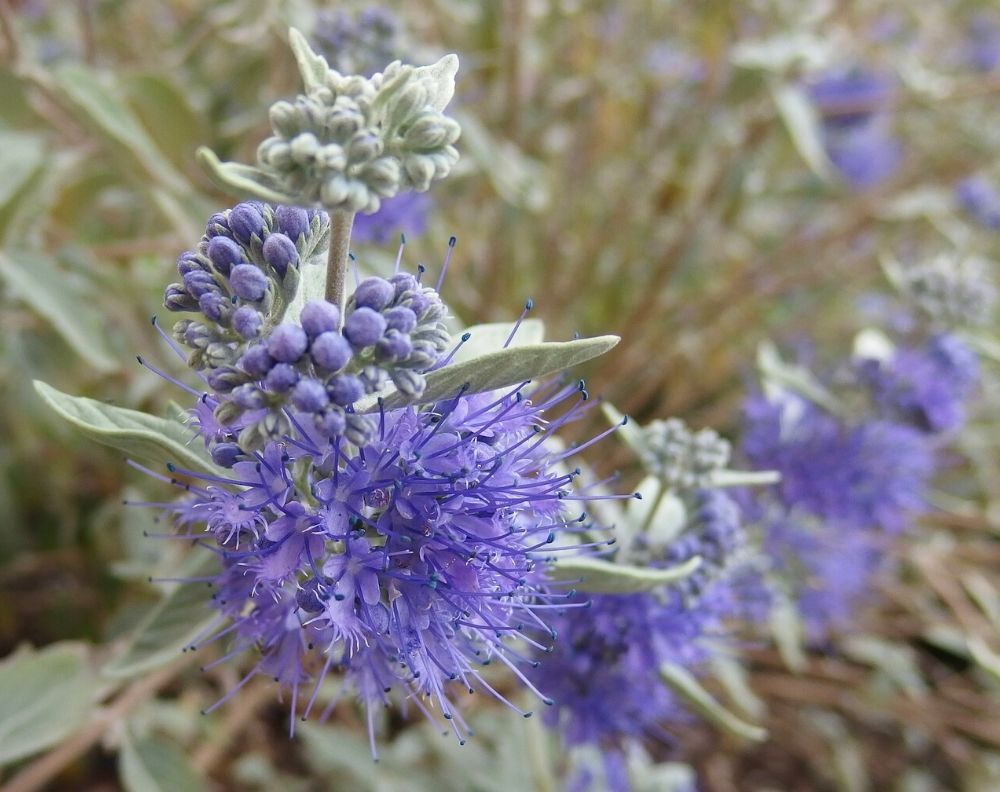 Closeup of a blooming Caryopteris plant which has clusters of small purple flowers