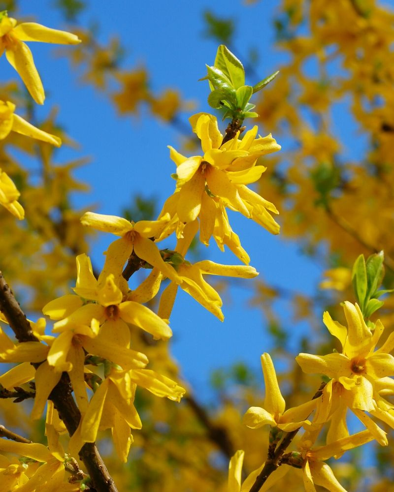 A close up view of a blooming forsythia bush covered in bright yellow flowers