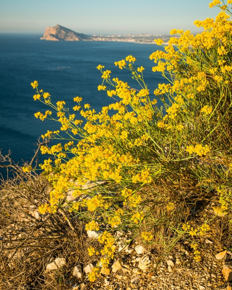 A flowering Genista Lydia bush with yellow flowers. It is on a cliff overlooking the water. A rocky mountain is visible in the distance across the water