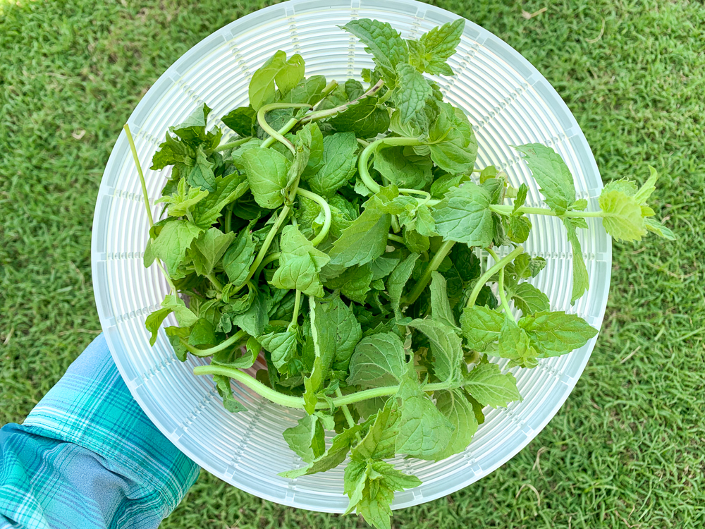 A plastic strainer full of harvested mint leaves. A woman's hand is holding the strainer and grass is visible in the background.