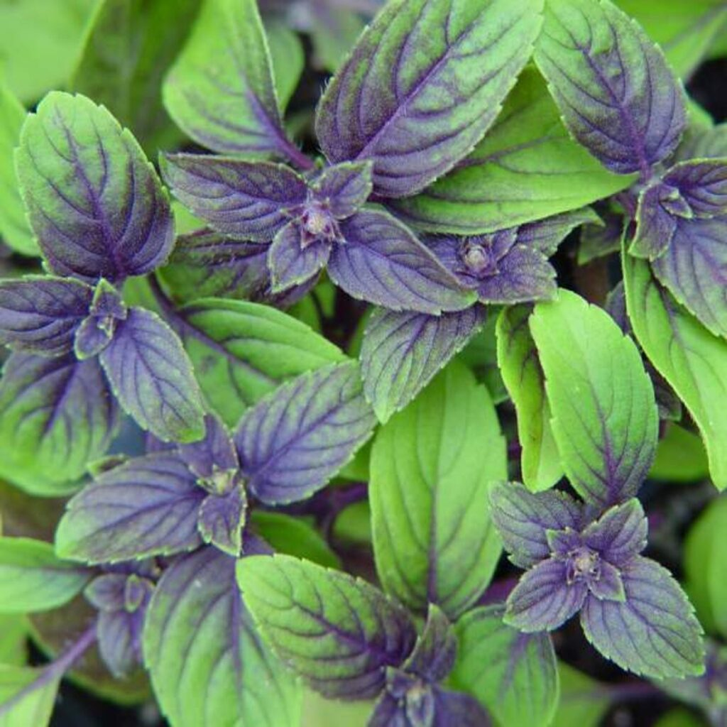 African blue basil plant