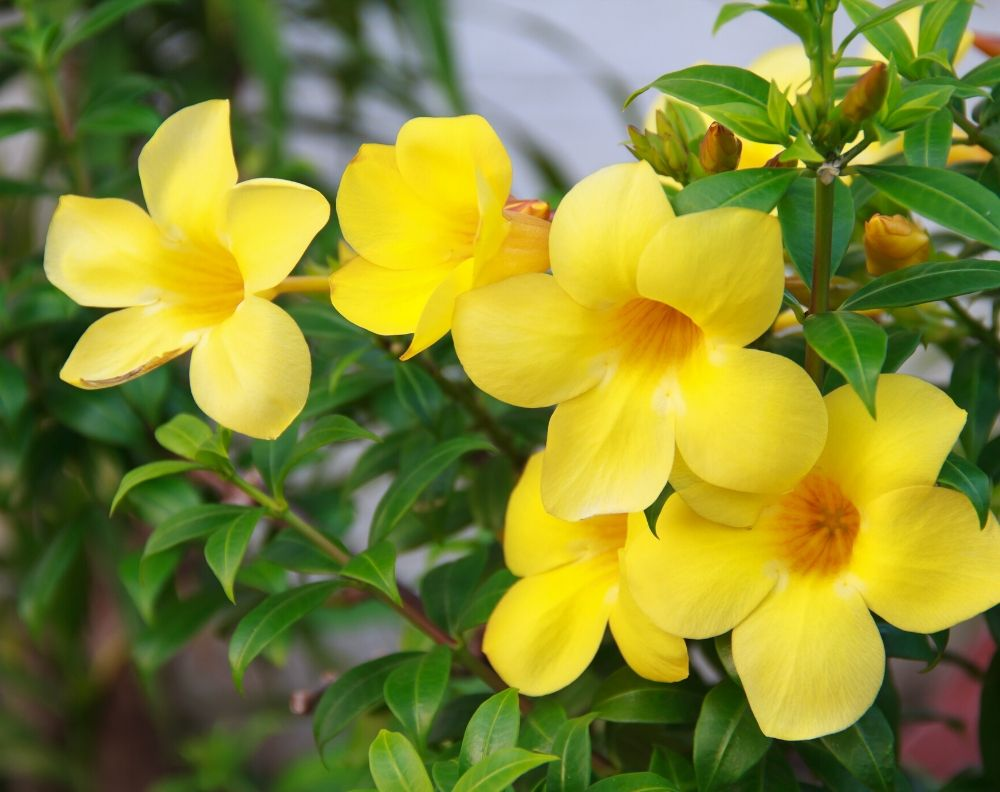 A close up of a yellow flowering allamanda bush. Allamanda flowers have five petals that come to  gentle point