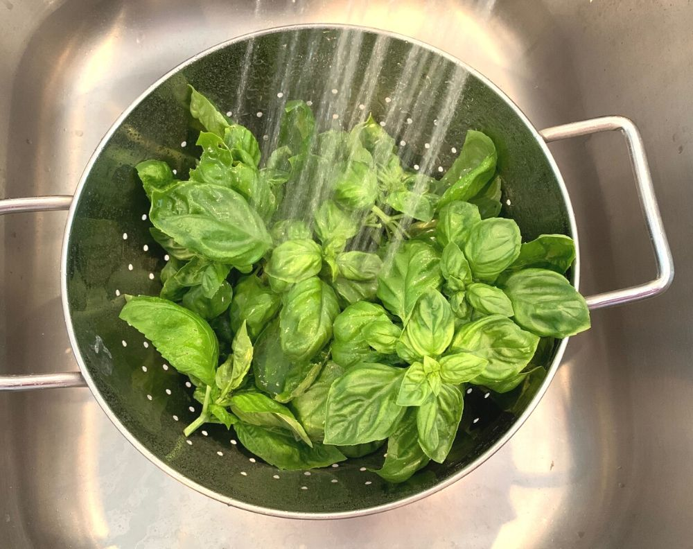 A metal colander in a stainless steel sink. The colander is full of basil leaves and there was water from the faucet washing them off.