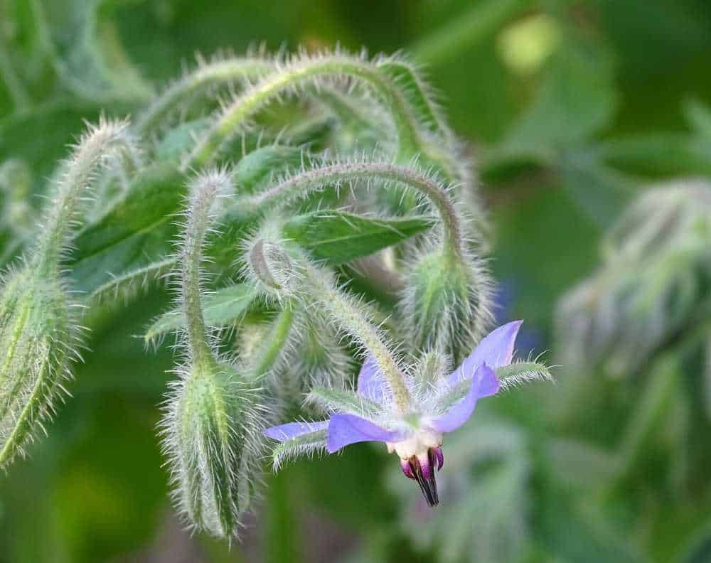 A close up of a blooming purple borage flower
