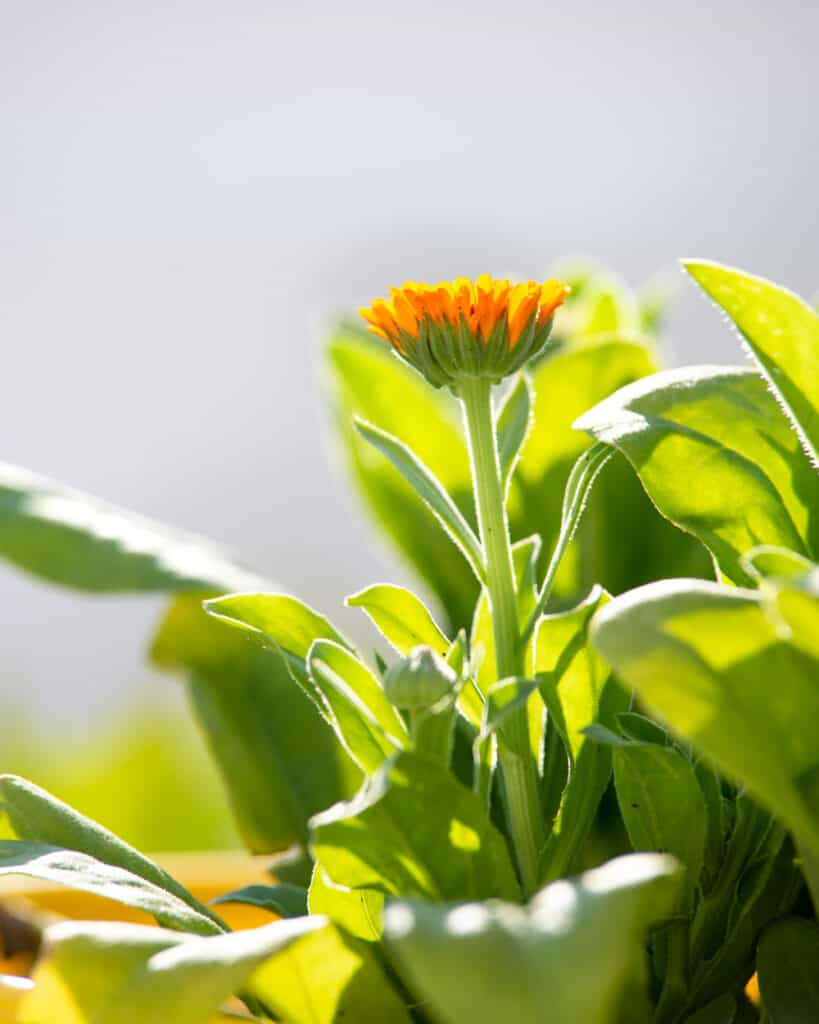 an orange calendula flower that is half open. It is backlight and surrounded by a multitude of of green calendula leaves