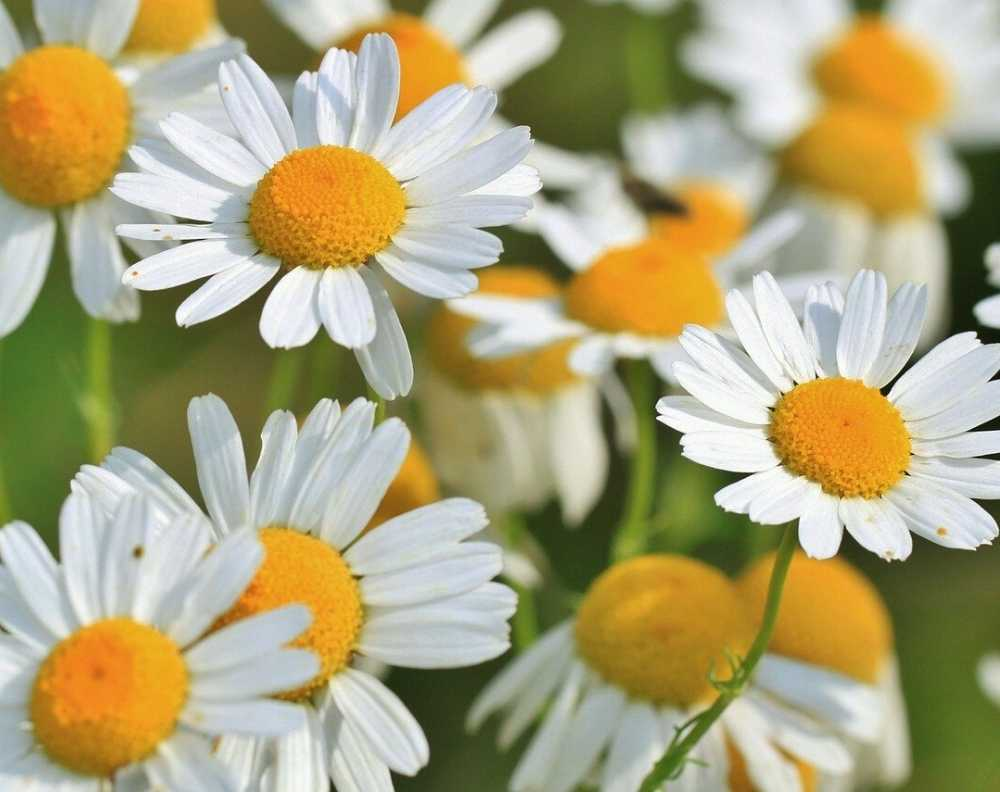 Chamomile flowers. Chamomile looks like a daisy with a yellow center and white petals
