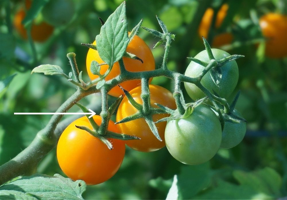 A close up of a cluster of six cherry tomatoes. Three are pale red, three are green. On the bottom left tomato there is a white arrow pointing at the knob on the stem just above the tomato. this is a natural breaking point and where you can easily snap the tomato off to harvest it.