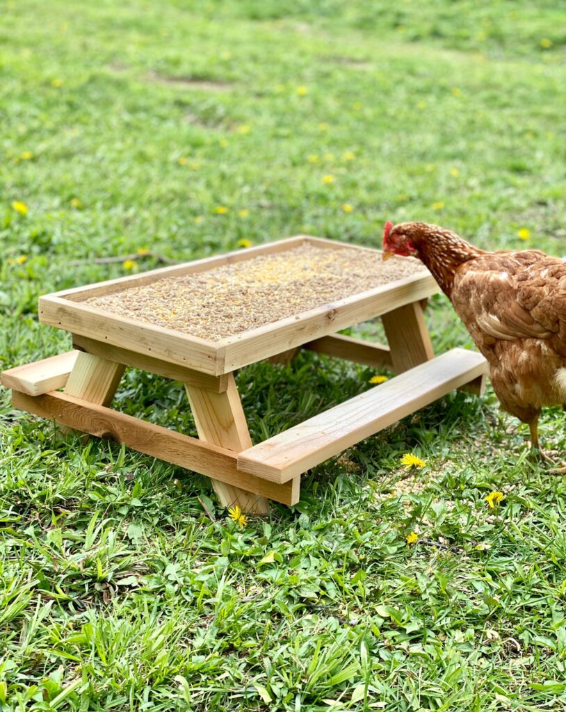 A chicken standing at a chicken sized picnic table with a feeder box on top. The chicken is on the grass with dandelions blooming.