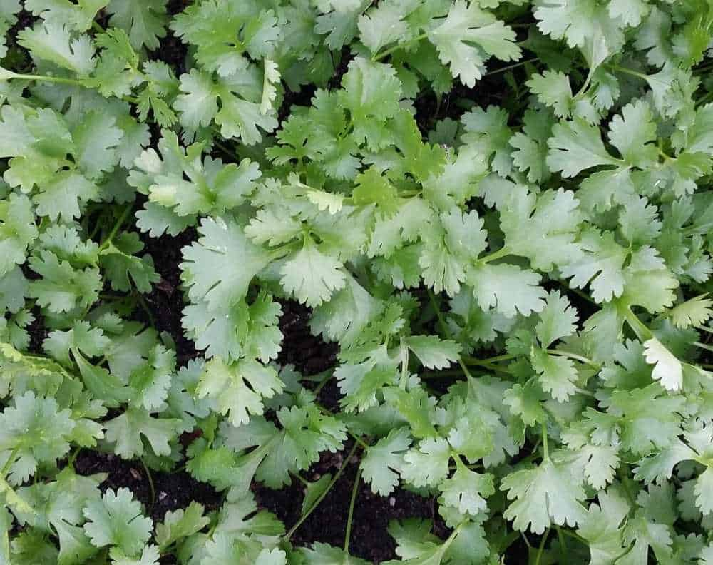 A closeup of cilantro growing. Cilantro very closely resembles flat leaf parsley