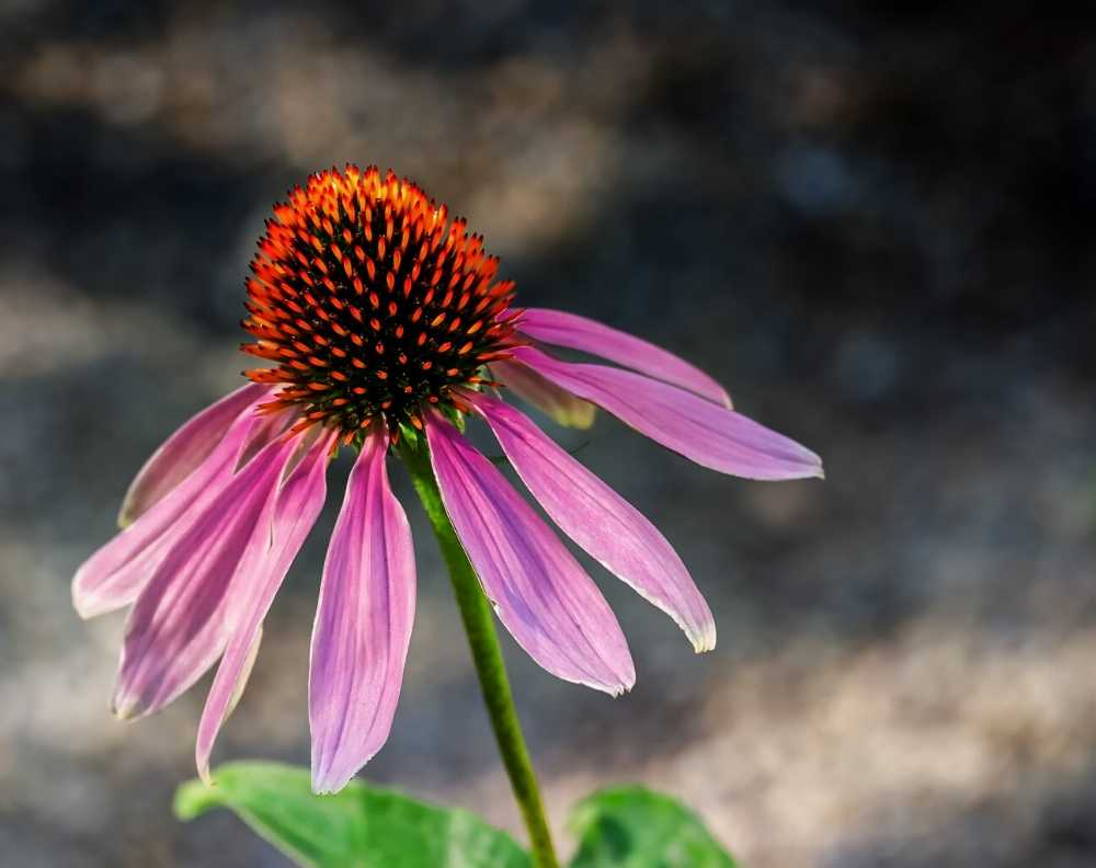 A close up view of a blossoming purple coneflower echinacea