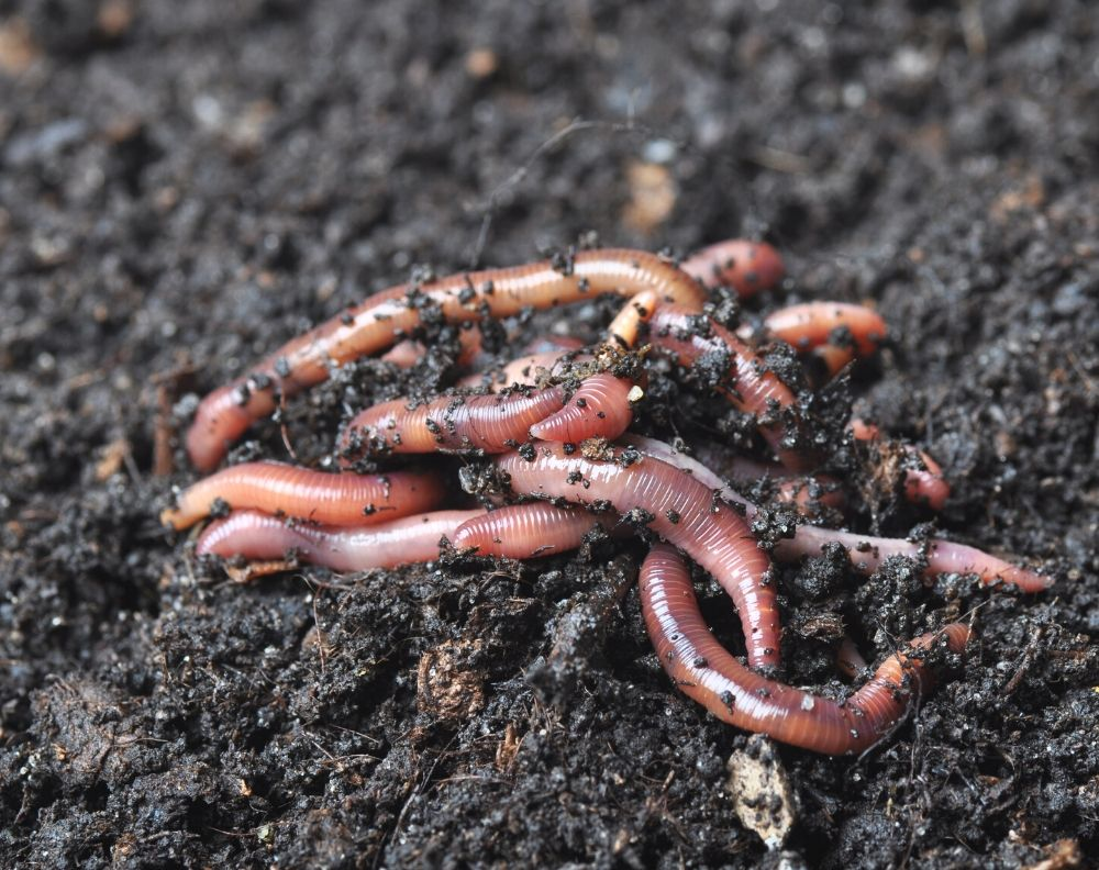 A closeup of a pile of red wriggler worms on moist dirt