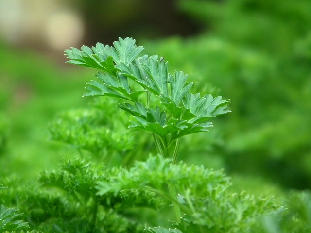A close up of a flat leaf parsley plant
