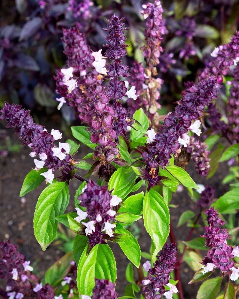 A flowering basil plant. The leaves are green and the plant has abundant purple flowers.