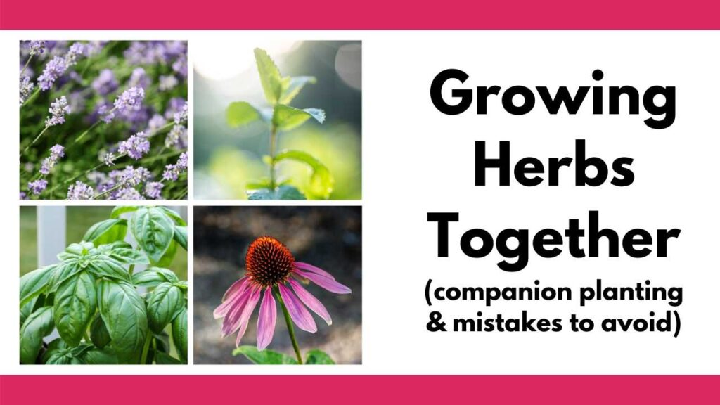 "On the right is a grid of four square images featuring lavender, mint, basil, and echinacea. On the right is the text ""growing herbs together (companion planting and mistakes to avoid)"