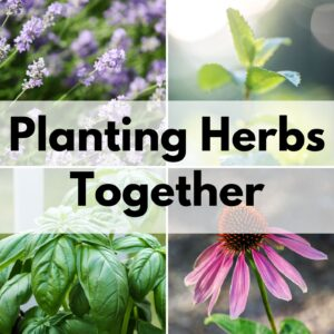 "text ""planting herbs together"" overlayed on a square grid with four images of herbs. From left to right, top to bottom the images are of lavender, mint, basil, and echinacea"