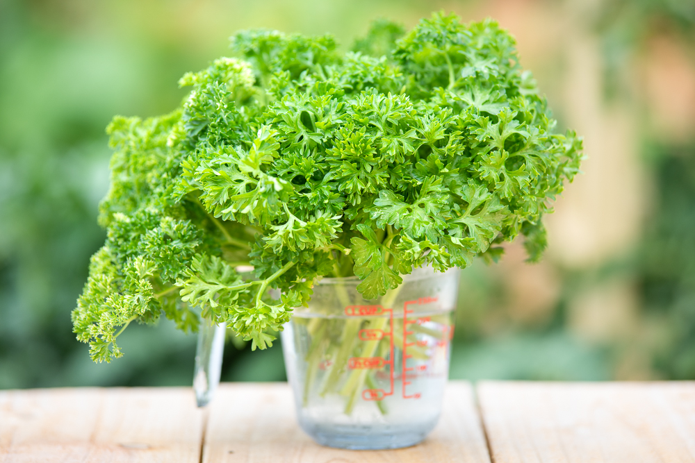 A pyrex measuring cup on a wood table overflowing with cut parsley stems. Green foliage from a garden is visible, out of focus, in the background