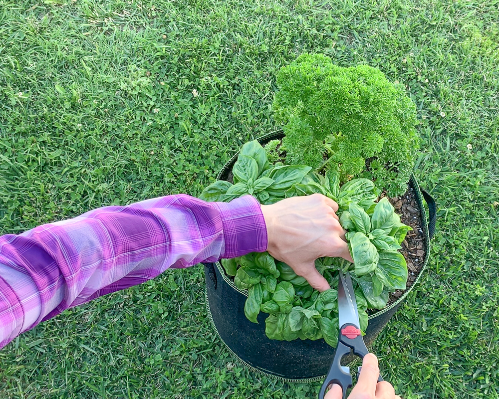 A woman pruning her basil plant. The basil is growing in a container with parsley. The woman is wearing a bright purple shirt. Only her arms and hands are visible. She is using a pair of kitchen scissors to cut the basil plant at a node above a set of leaves.
