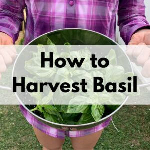 """a close up of a woman wearing a purple shirt holding a colander of freshly picked basil. Over the photo is the caption """"How to Harvest Basil"""""""