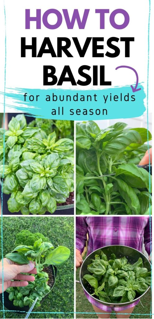 "Text ""how to harvest basil for abundant yields all season."" Below is A four picture collage of how to trim basil. The top left is a basil plant. The top right shows a pair of scissors cutting the plant. On the bottom left is a hand holding the removed basil top. On the bottom right is a colander full of basil being held by a woman in a purple plaid shirt"
