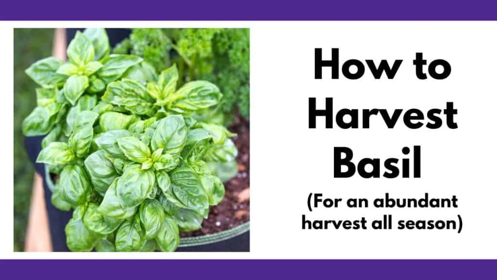 "On the left is a square image of a basil plant growing. On the right is the text ""How to harvest basil for an abundant harvest all season"""