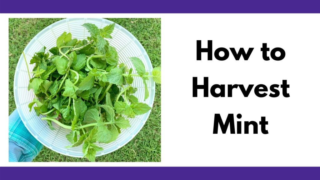 "On the left is a photo of a plastic strainer full of fresh mint leaves. On the right is the text ""How to Harvest Mint"""