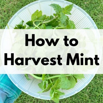 """text overlay """"how to harvest mint"""" over a picture of a woman's hand holding a plastic strainer basket of mint"""