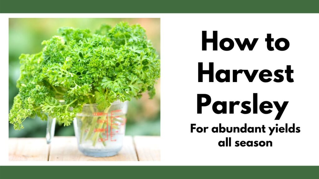 "On the left is a picture of a pyrex measuring cup full of freshly cut parsley stems. On the right is the text ""how to harvest parsley for abundant yields all season"""