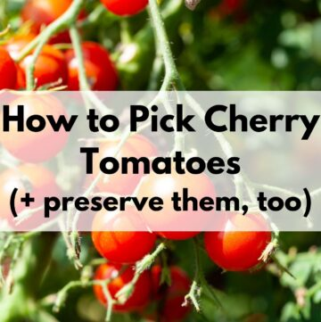 """text """"how to pick cherry tomatoes"""" on a transparent white box in front of a photo of ripe cherry tomatoes on a tomato plant. The photo is close up and the small cluster of tomatoes fills the frame."""