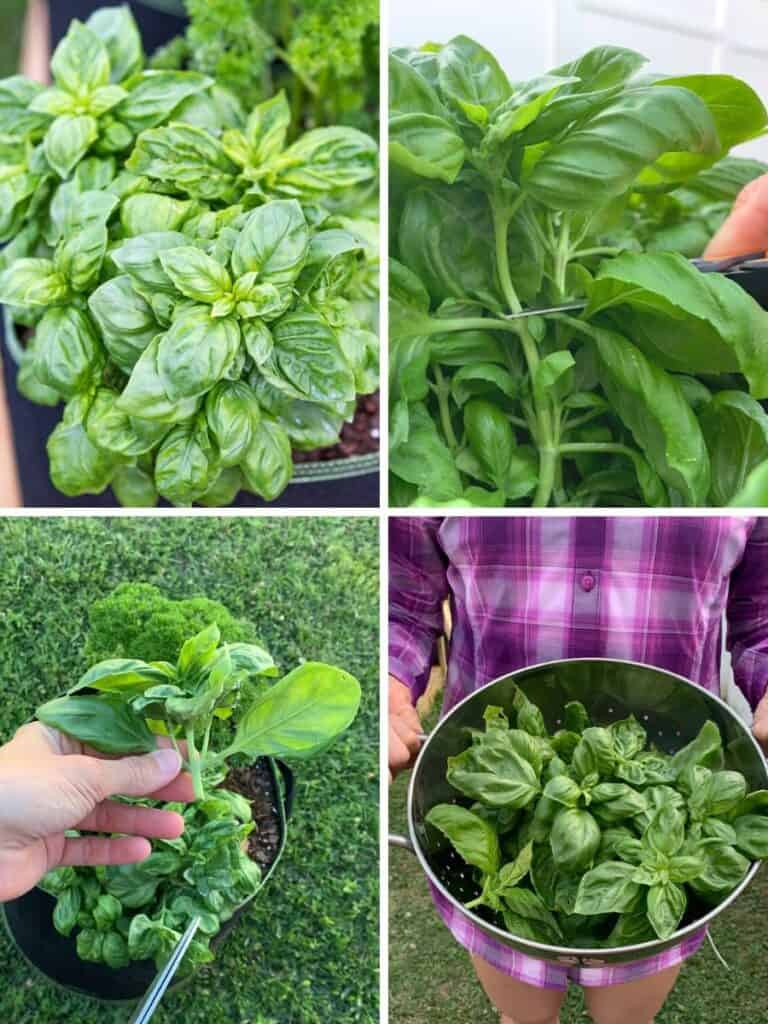 A four picture collage of how to trim basil. The top left is a basil plant. The top right shows a pair of scissors cutting the plant. On the bottom left is a hand holding the removed basil top. On the bottom right is a colander full of basil being held by a woman in a purple plaid shirt