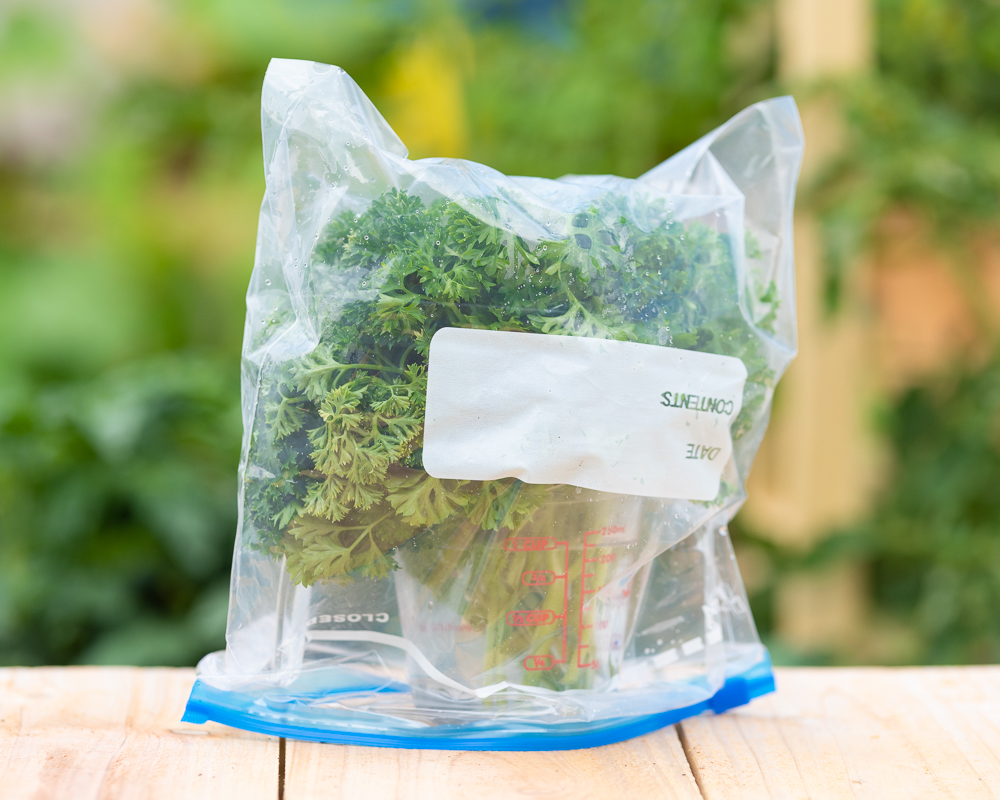 A pyrex measuring cup filled with picked parsley stems and covered with a gallon freezer bag. It is sitting on a wood table and green vegetation from a garden is out of focus in the background