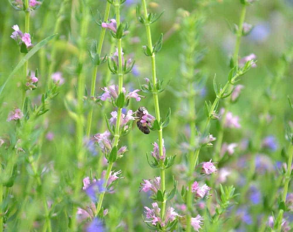 Flowering hyssop with a bumblebee. Hyssop forms long branches with small purple flowers and small, slender leaves