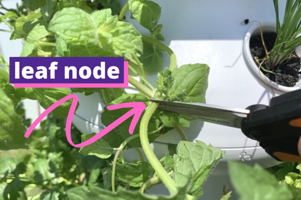 "A pair of garden snips on a mint stem right above a leaf node. A pink arrow points at the stem with the text ""leaf node"""