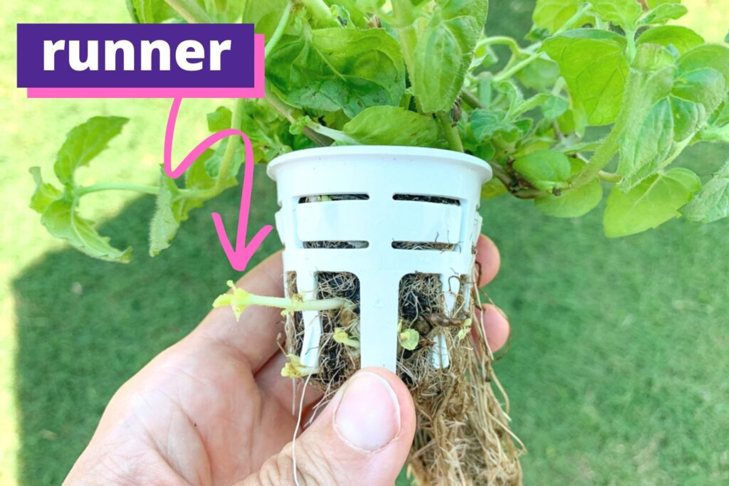 "A picture of a hydroponic grow system cup with a mint plant. The mint is sending out runners. There is a pink arrow with the label ""runner"" pointing at a large runner."