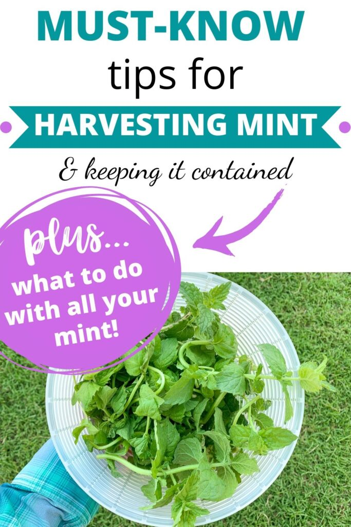 "text ""must know tips for harvesting mint & keeping it contained plus what to do with all your mint!"" Below the text is a picture of a plastic strainer full of freshly harvested mint leaves"