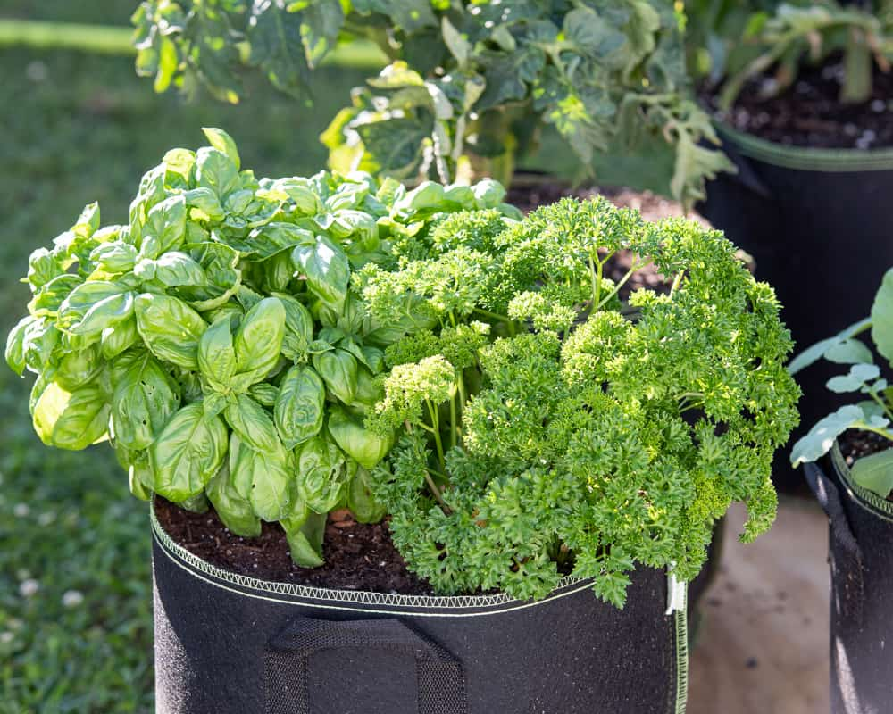 parsley and basil growing together in a black nonwoven fabric grow bag. A tomato plant is visible in the background