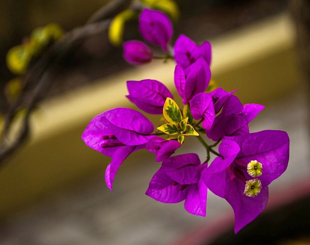 A closeup of a blooming Bougainvillea with purple pink flowers and yellow & green leaves