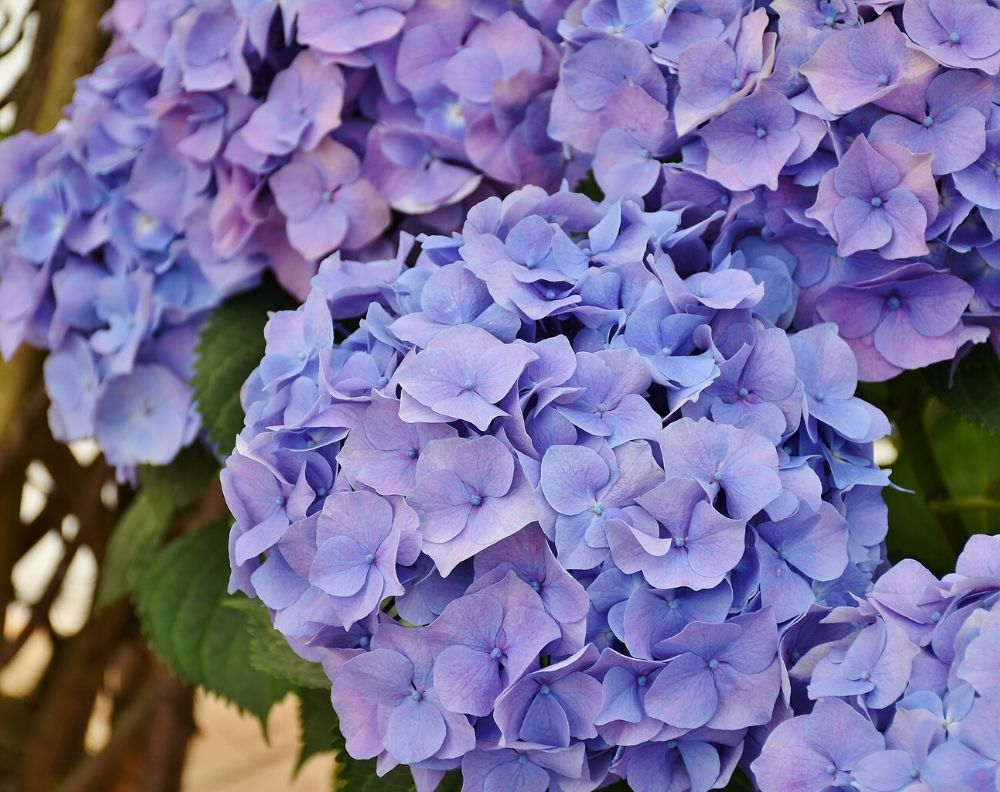 A closeup of a blooming purple Hydrangea bush. A few leaves are visible in the background.