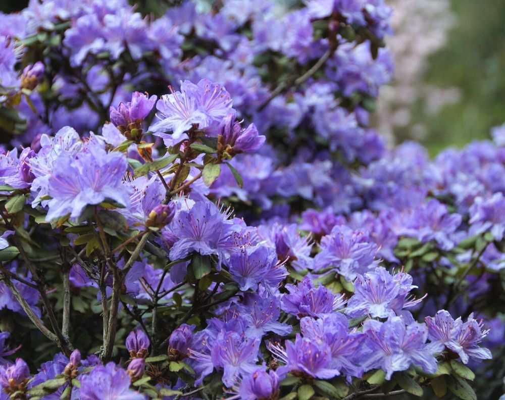 A purple rhododendron bush in full bloom. The blossoms are profuse and a periwinkle purple.