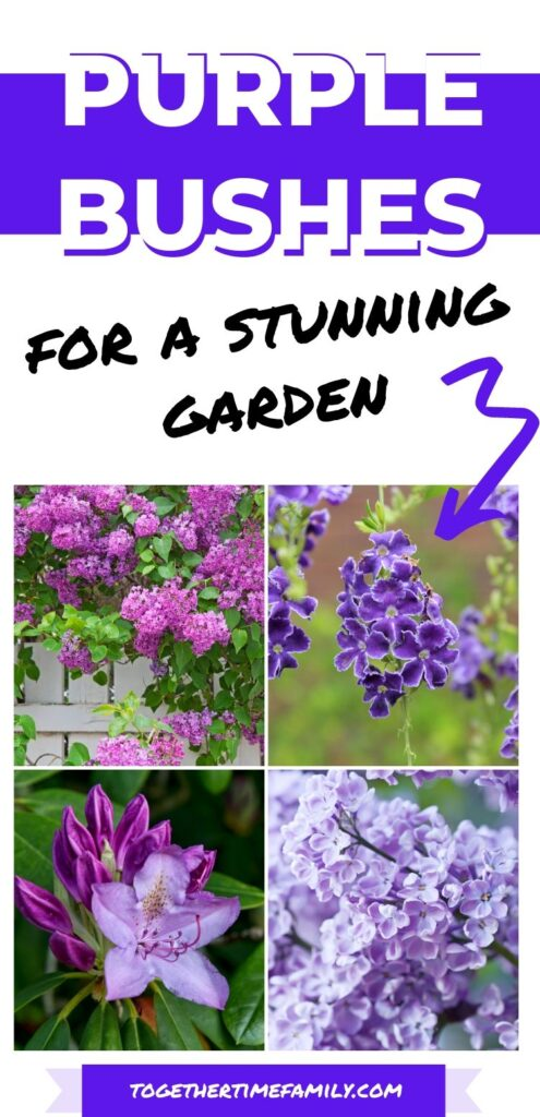 "Text ""purple bushes for a stunning garden"" with an arrow pointing a a picture collage with four images showing a lilac bush in bloom, golden dewdrops, a purple rhododendron, and a closeup of purple lilacs"