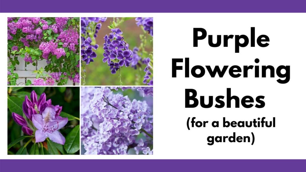 on the left is a tiled image with four square pictures of purple flowering bushes including two photos of blooming lilacs, golden dewdrop, and a purple rhododendron. On the right is the text 'purple flowering bushes for a beautiful garden'